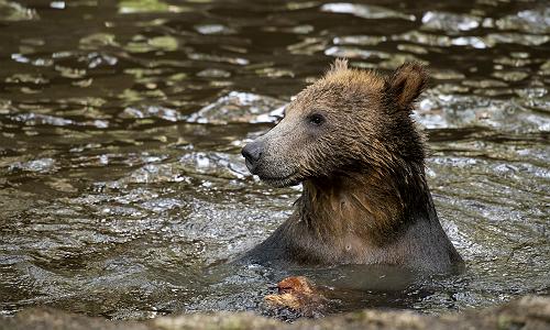 Bear at Northwest Trek